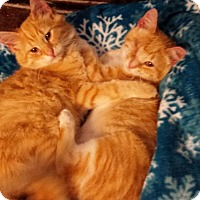 Adopt A Pet :: Cheddar & Colby Jack - Denver, CO