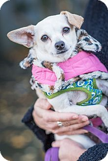 Chihuahua Mix Dog for adoption in Pitt Meadows, British Columbia - Chloe