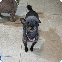 Adopt A Pet :: Geisha - San Antonio, TX