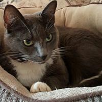 Adopt A Pet :: Nube - Portland, OR