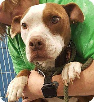 Pit Bull Terrier Mix Dog for adoption in Henderson, North Carolina - Diamond (HW Pos)*
