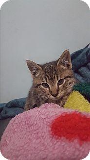 Domestic Shorthair Kitten for adoption in Harrison, New York - Tigre