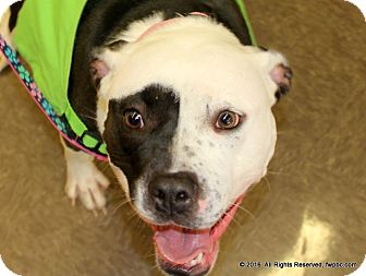 Pit Bull Terrier Dog for adoption in Fort Wayne, Indiana - Ellie