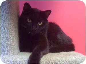 Domestic Shorthair Cat for adoption in Topeka, Kansas - Fuzzy II