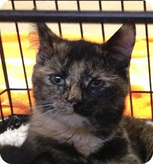 American Shorthair Kitten for adoption in Denton, Texas - Trixie