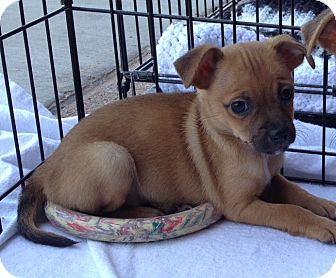 Pug/Chihuahua Mix Puppy for adoption in Phoenix, Arizona - Gatsby