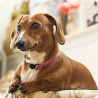 Adopt A Pet :: Daphne - NJ - Jacobus, PA