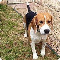 Adopt A Pet :: Boris - Phoenix, AZ
