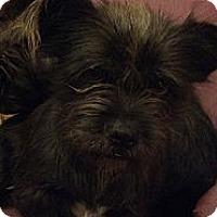 Adopt A Pet :: Cinder - Brattleboro, VT