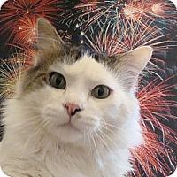 Adopt A Pet :: Figaro - Albany, NY