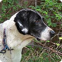 Adopt A Pet :: Sawyer-ILLINOIS - Wood Dale, IL