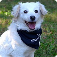 Adopt A Pet :: Sugar - Mocksville, NC