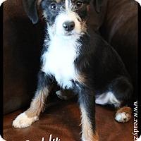 Adopt A Pet :: Buddy - Rockwall, TX