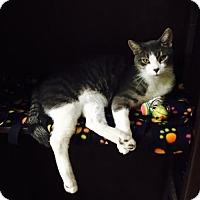 Adopt A Pet :: Leo DiCatprio - Tempe, AZ