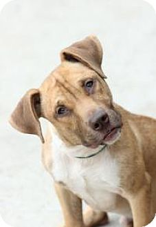 Beagle/Labrador Retriever Mix Dog for adoption in Yukon, Oklahoma - Peabody