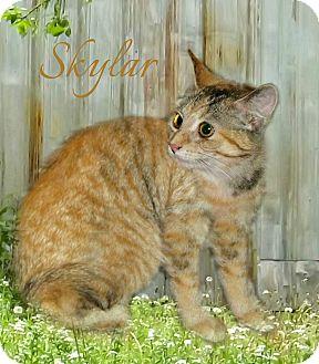 Domestic Shorthair Cat for adoption in McEwen, Tennessee - Skyler