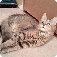 Maine Coon Cat for adoption in Baltimore, Maryland - Baby Bear