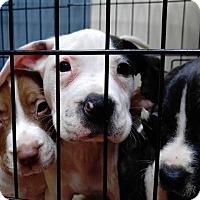 Adopt A Pet :: Gabriel - Atlanta, GA