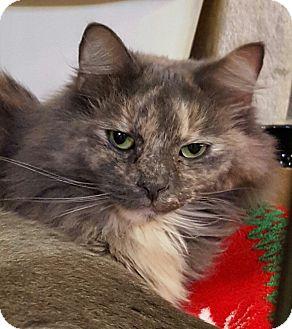 Domestic Longhair Cat for adoption in Lexington, Kentucky - Cammie