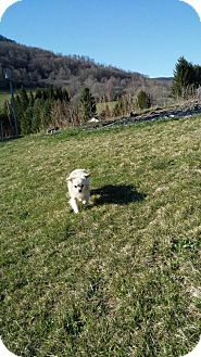 Chihuahua/Pekingese Mix Dog for adoption in Elkins, West Virginia - Mikey