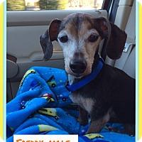 Adopt A Pet :: Freddy. (Pom-dc) - Spring Valley, NY