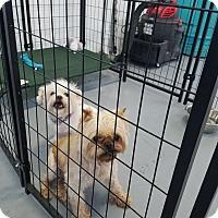 Adopt A Pet :: Mason bonded with Edward - Las Vegas, NV