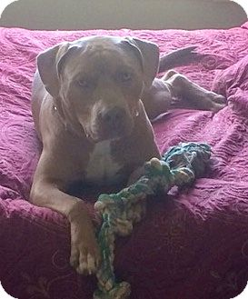 Pit Bull Terrier Mix Dog for adoption in Columbus, Ohio - Big Man~Courtesy Post~