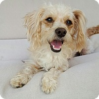 Adopt A Pet :: Julianne - Thousand Oaks, CA