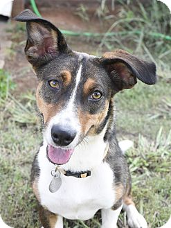 Basenji/Corgi Mix Dog for adoption in Huntsville, Alabama - Hazel