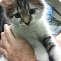 Adopt A Pet :: Cyrus - Franklin, NH
