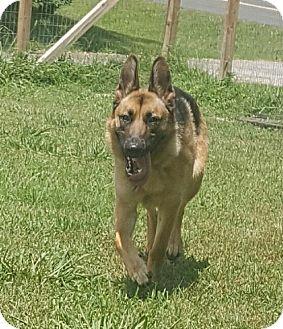 German Shepherd Dog Dog for adoption in Mocksville, North Carolina - Lexy