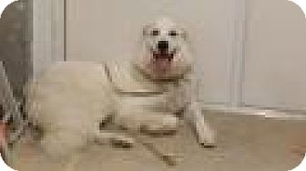 Great Pyrenees Dog for adoption in Lee, Massachusetts - Isabella - in Mass