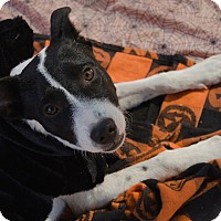 Australian Cattle Dog Mix Puppy for adoption in Phoenix, Arizona - BEEZUS