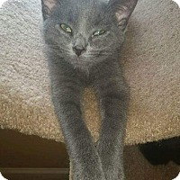 Domestic Shorthair Kitten for adoption in Virginia Beach, Virginia - Trebek