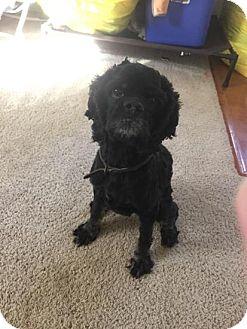 Cocker Spaniel Dog for adoption in Kannapolis, North Carolina - Dash