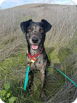 Terrier (Unknown Type, Small)/Australian Cattle Dog Mix Dog for adoption in Emeryville, California - FRANNY