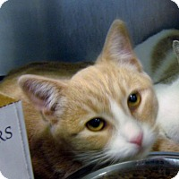 Domestic Shorthair Cat for adoption in Stillwater, Oklahoma - Blondie
