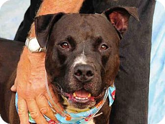 Pit Bull Terrier Dog for adoption in Louisville, Kentucky - ZEUS