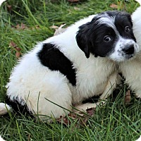 Great Pyrenees Mix Puppy for adoption in Plainfield, Illinois - Snoopy