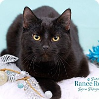 Domestic Shorthair Kitten for adoption in Sterling Heights, Michigan - Shadow