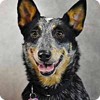 Adopt A Pet :: Mira - St. Louis Park, MN