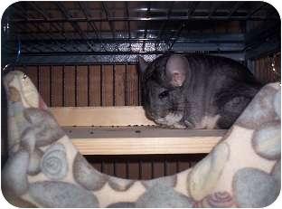 Chinchilla for adoption in Avondale, Louisiana - Chum Chum