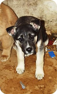 Husky/German Shepherd Dog Mix Puppy for adoption in Morgantown, West Virginia - Smoke