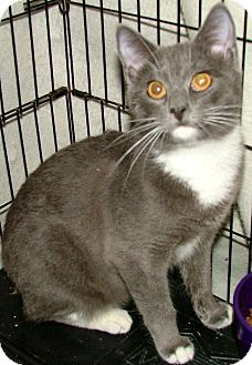 Manx Kitten for adoption in Chattanooga, Tennessee - Sage