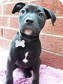 Labrador Retriever Mix Puppy for adoption in Detroit, Michigan - Cleopatra-Adopted!