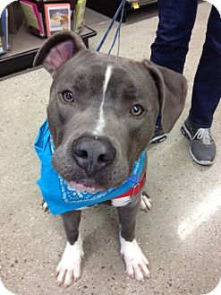 American Pit Bull Terrier/Labrador Retriever Mix Dog for adoption in San Diego, California - Bluie