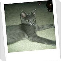 Adopt A Pet :: Skeeter-the royal feline! - Hurst, TX