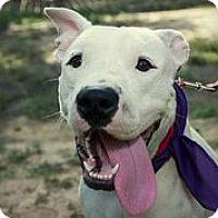 Adopt A Pet :: Rosie Girl - Austin, TX