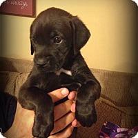 Adopt A Pet :: Jack - Sinking Spring, PA