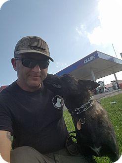 Dutch Shepherd Dog for adoption in Greeneville, Tennessee - Uhli